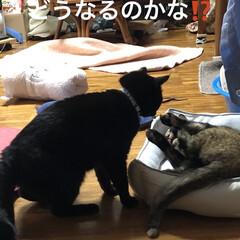 親子/めん/猫/くろ/黒猫 珍しくくろがめんにケンカをぶっかけてた⁉…(6枚目)
