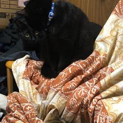 黒猫/にゃんこ同好会 机の上の青い首輪が母猫くろ。オレンジの首…