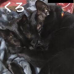 黒猫/くろ/にこ/暮らし 珍しく、くろとにこが一緒に寝てます。 い…