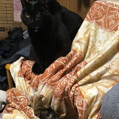 黒猫/にゃんこ同好会 机の上の青い首輪が母猫くろ。オレンジの首…(2枚目)