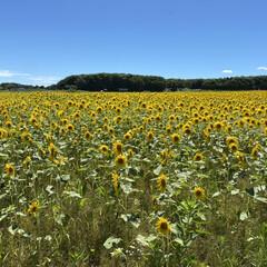 北海道暑すぎ/ひまわり畑 実家行く途中にひまわり畑🌻があります。 …(3枚目)