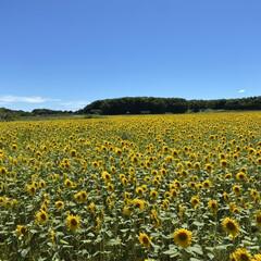 北海道暑すぎ/ひまわり畑 実家行く途中にひまわり畑🌻があります。 …(1枚目)