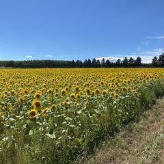 北海道暑すぎ/ひまわり畑 実家行く途中にひまわり畑🌻があります。 …(2枚目)