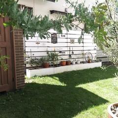 ミモザ/オリーブの木/庭/ガーデン/ガーデン雑貨 台風一過  15号の経験もあり、かなり周…