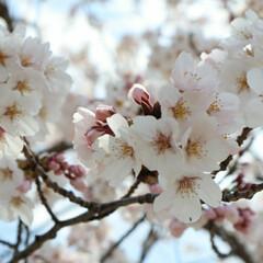 ソメイヨシノ/お花見/桜/おでかけ/おでかけワンショット/春のフォト投稿キャンペーン ショッピングモール近くの公園で😊  娘と…