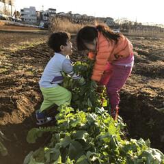 冬/おうちごはん/風景 冬の収穫…大根畑でうんとこしょ! 2人で…