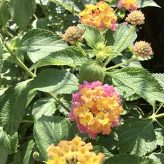 小さな庭/花/花のある暮らし/ランタナ/ガーデニング ランタナ増えた🌸🌼 植えたはいいけど こ…(1枚目)