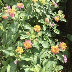 小さな庭/花/花のある暮らし/ランタナ/ガーデニング ランタナ増えた🌸🌼 植えたはいいけど こ…(3枚目)
