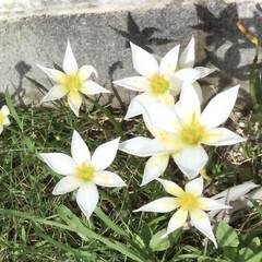 小さな庭/花のある暮らし/花/ガーデニング/レインリリー ホワイトレインリリー🌼(1枚目)