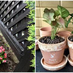ベコニア/ガーデニング/観葉植物/ダイソー/暮らし/100均 昨日ダイソーで買った100円の観葉植物🌱…