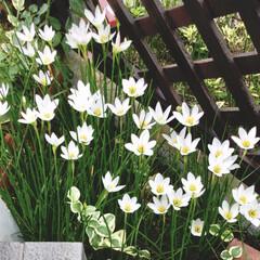 ガーデニング/花 雨が上がった後に たくさん毎年咲きます(…(1枚目)