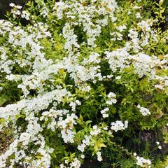「庭のユキヤナギが咲き始めました❄️🌼🌾」(1枚目)