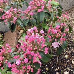 庭/花/ガーデニング/カルミア 3月末に植えたカルミア🌸 やっと咲き始め…(1枚目)