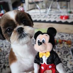 犬/シーズー犬 サマーカット💖 ノンと申します☆