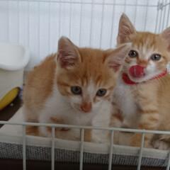 カワイイ/子ネコ/ペット/猫/にゃんこ同好会 去年の6月、うちに来たばかりの時のあんず…