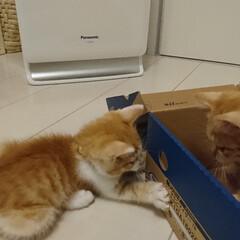 カワイイ/子ネコ/ペット/猫/にゃんこ同好会 去年の6月、うちに来たばかりの時のあんず…(3枚目)