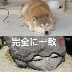 ペット/犬/柴犬/激似/笑/完全に一致/... ウチのゴン太 何かに似てると思ったら、コ…