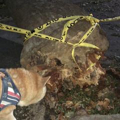 台風/柴犬/ペット/散歩/ビックリ/倒れる/... この木は台風で倒れちゃったんだね…😨