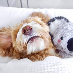 お昼寝/HERO🐶くん/ペット/犬 HERO🐶くん、ひとり遊び疲れて お気に…(1枚目)