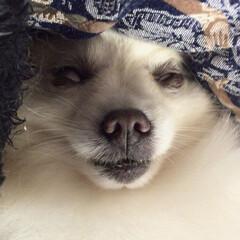 寝顔/ポメラニアン/寝顔ブス/ペット/犬/おやすみショット これでも一応ポメラニアンなんです…