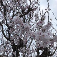 「桜🌸だねー」(1枚目)