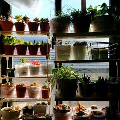 多肉植物/観葉植物/冬越し 真冬日の窓越し日光浴で葉焼けの災いに遇う…