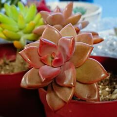 しもやけ/グラプトペタルム/多肉植物/カクトロコ/3鉢500円/ホーマック 紅葉を深めていくブロンズ姫の葉、日の光を…