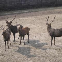 鹿の角/シカ/鹿/秋祭り/角切り シカ逃げる成長の秋