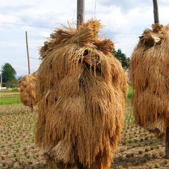 新米/稲刈り/稲架/秋の収穫/秋 シーズン到来。 あちらこちらに「ほにょ」…