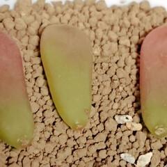 葉挿し/セダム/多肉植物 ジョイスタロック、室温15℃の朝ながら1…