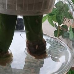サンセベリア/サンスベリア/水栽培 サンセベリアの水栽培12日目、ようやく発…