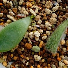 カランコエ/エケベリア/多肉植物/葉挿し 根と芽が出た葉っぱ2枚の経過観察 201…