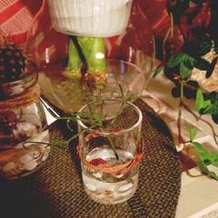 リプサリス/水栽培 脱落したリプサリスのお試し水挿しスタート…