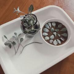 カランコエ/白銀の舞/多肉植物 ① 葉挿し ② 茎水挿し ③ 茎乾燥→土…
