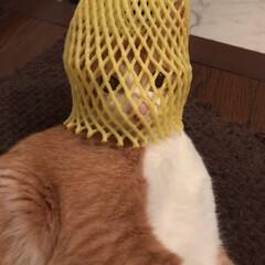 茶白猫/ペット/猫 りんごが包んであったやつ😰 なにされても…