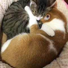 仲良しきょうだい/茶白猫/キジ白猫/ペット/猫 いつも喧嘩ばっかりしてるけど寝る時は仲良…