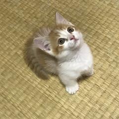 マンチカン短足/マンチカン/猫派/フォロー大歓迎/にゃんこ同好会 新しい家族になりました⸜(*ˊᵕˋ* …