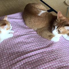 Mix猫/マンチカン短足/茶白猫/猫派/フォロー大歓迎/にゃんこ同好会 マロンが寝てると横にマンチのロコンが…😱…