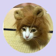 茶白猫/保護猫/茶白/ペット仲間募集/猫/にゃんこ同好会 久しぶりのライオンちゃん😊 マロンは大人…