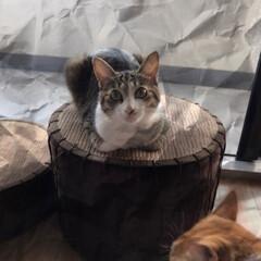 香箱座り/キジ白猫/ペット/猫 みーちゃんの香箱座り😊