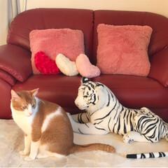 虎/キジ白猫/茶白猫/ペット/猫 ホワイトタイガーとのツーショット👍😄💕