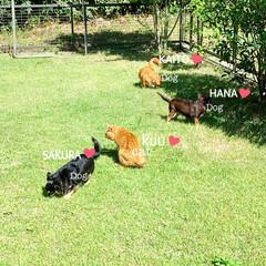 茶トラ/MIX犬/チワワ/チワックス#/お庭/猫派/... お庭でのドッグランᵃⁿᵈキャットラン❤︎…