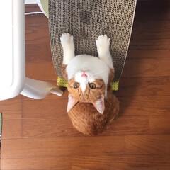 保護猫/爪研ぎ/幸せ/猫のいる暮らし/猫好き/フォロー大歓迎/... エイルくん初めてのマタタビ💗  ソファー…