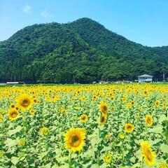 ひまわり 暑くてもお日様に向かう向日葵 元気いっぱ…