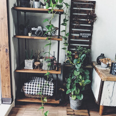 棚/多肉植物/サボテン/ポトス/植物/グリーン/... ポトスが絶賛成長中です!床についてますね…