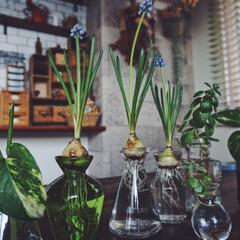 ガラス瓶/グリーン/植物/お花/水挿し/水栽培/... 水耕栽培にハマってます!💕ガラスの瓶がキ…