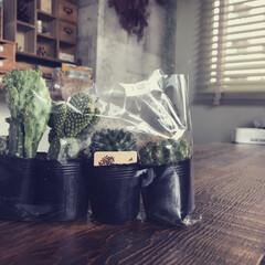植物/グリーン/サボテン/ナチュラルキッチン/100均/インテリア 久々にナチュラルキッチンに行ってみたら、…