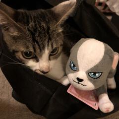 ネコ/ねこ/ジョジョ イギーと仲良しジョジョちゃん。 やれやれ…(1枚目)