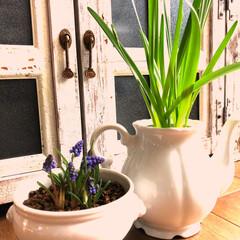 植物/住まい/暮らし ムスカリ❗️スノーフレーク❗️ お部屋❗…