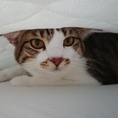 猫/兄妹/デカイ/仲良し/好き/眠い/... たくさんの個性的なにゃんこ達! 写真では…
